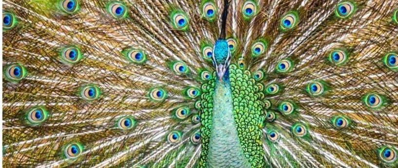 绿孔雀请了解