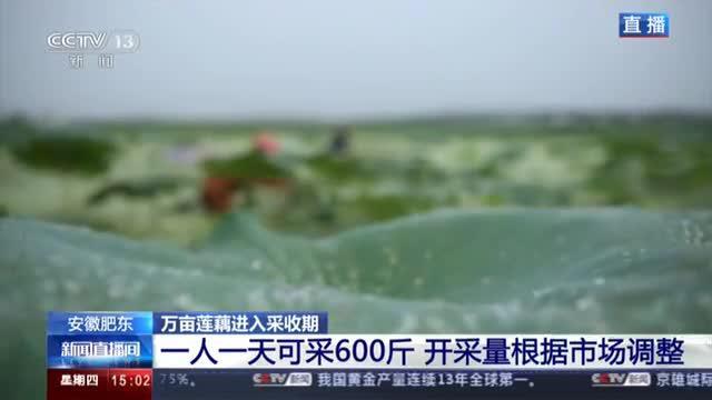 安徽肥东:万亩莲藕进入采收期