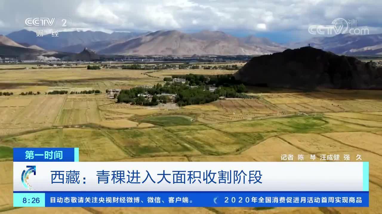 [第一时间]西藏:青稞进入大面积收割阶段