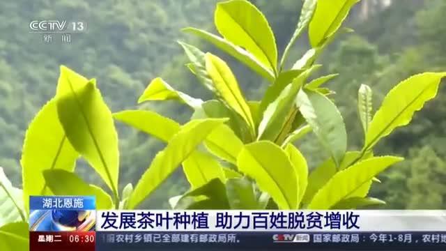 湖北恩施:发展茶叶种植 助力百姓脱贫增收