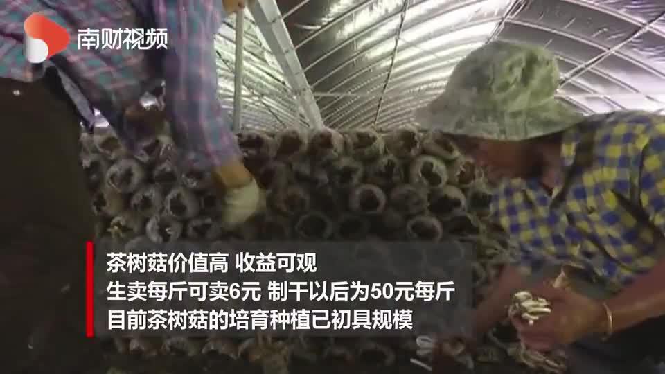[走向我们的小康生活]清远大龙村:种植茶树菇 铺就村民致富路