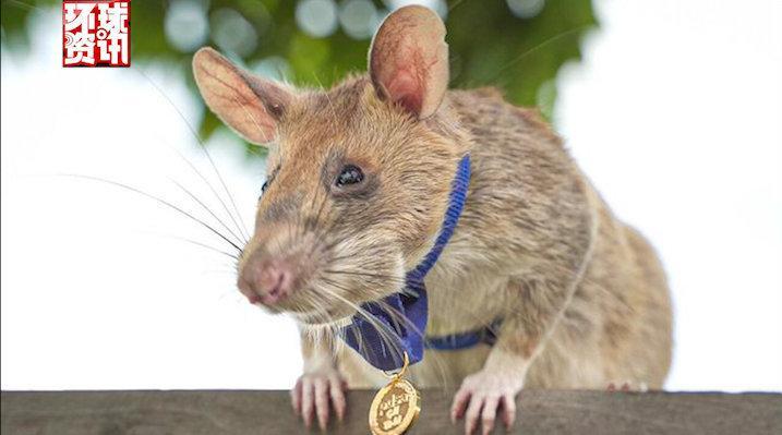 非洲巨鼠因搜寻地雷被授奖章:7年共发现39枚地雷和28枚未爆炸的弹药