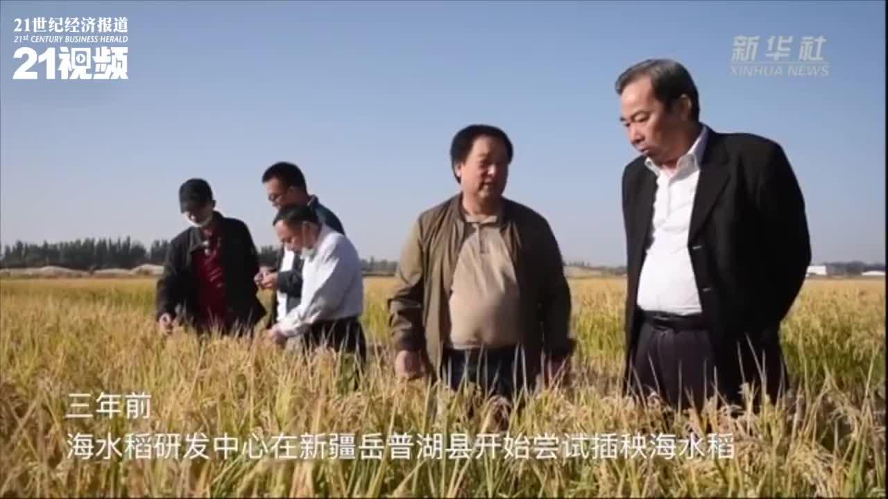 袁隆平团队研发耐盐碱水稻:亩产548.53公斤 3年产量稳定