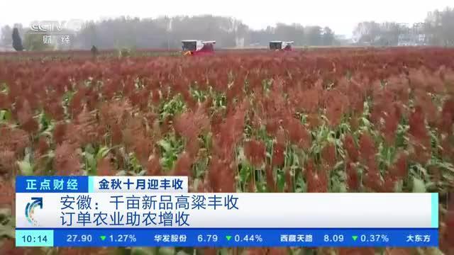 安徽:千亩新品高粱丰收 订单农业助农增收