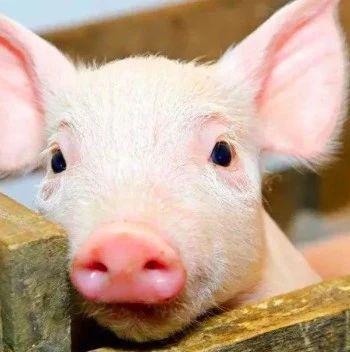 天兆猪业赴港上市:2019年中国第一种猪养殖公司 大数据赋能育种