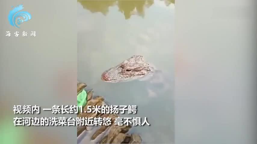 安徽女子河边洗碗 1.5米野生扬子鳄冒头与人沉默对峙