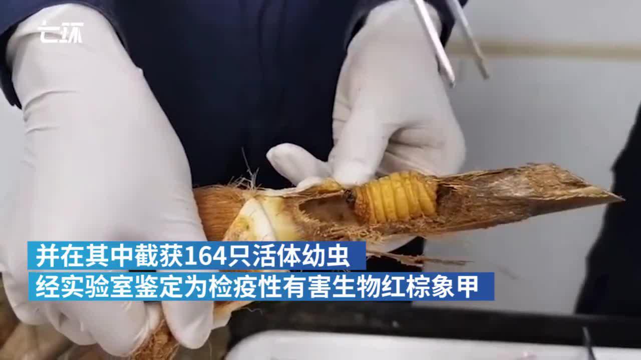 昆明海关截获164只又肥又大的活体幼虫
