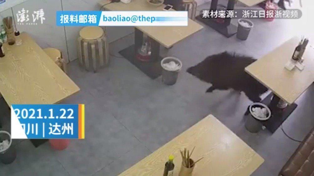 四川野猪闯进面馆女顾客被吓得直摆手:男子拿起板凳自卫