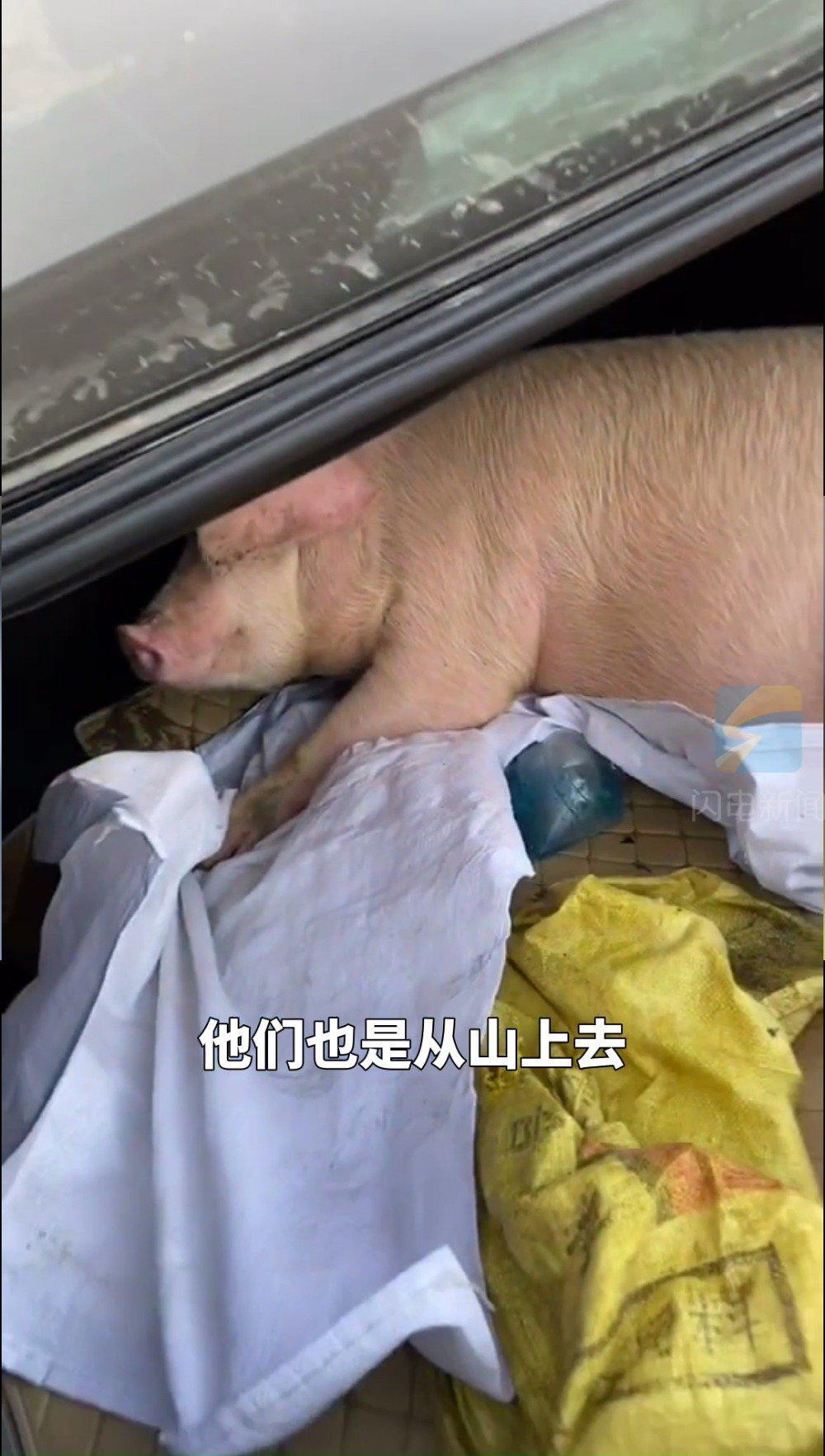 小伙返程车里被父母塞了头猪