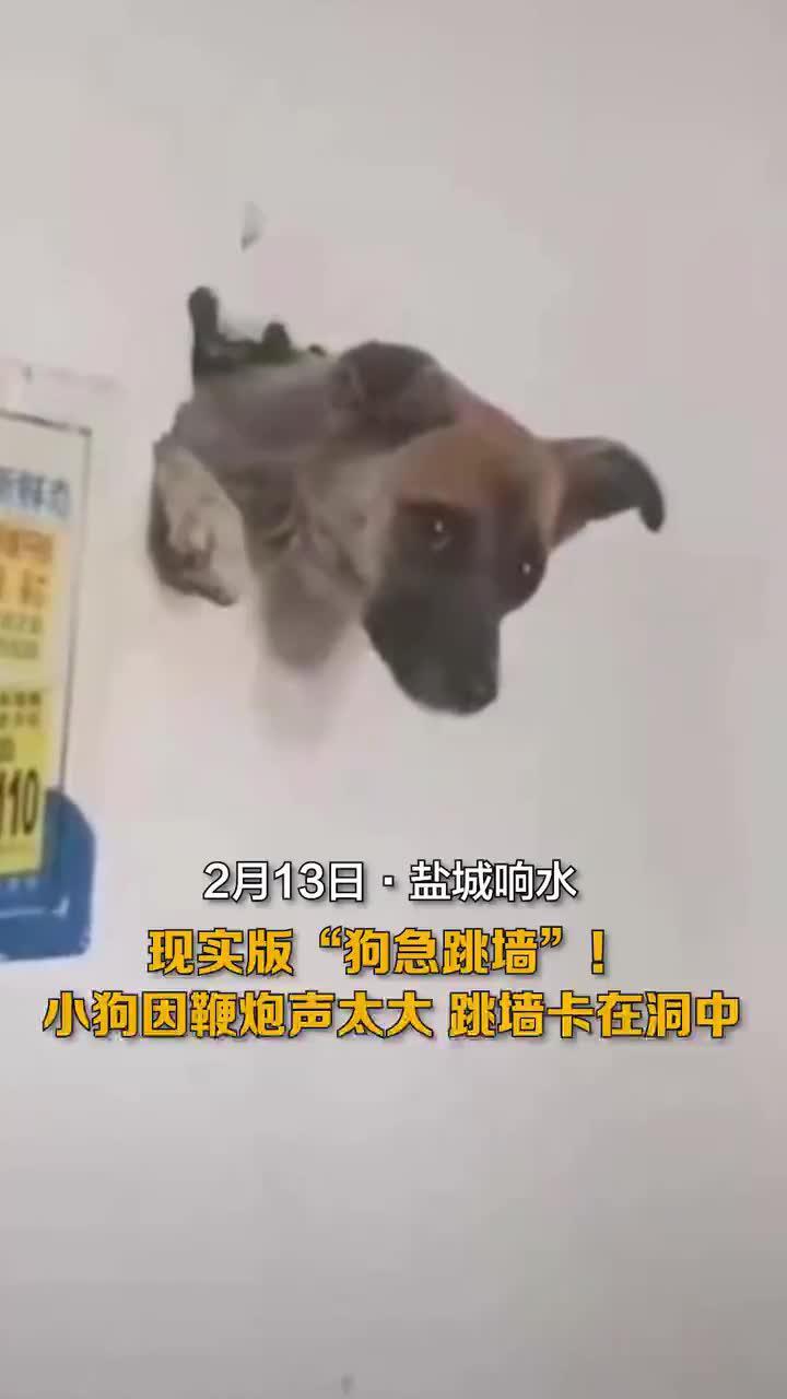 小狗因鞭炮声卡在洞中