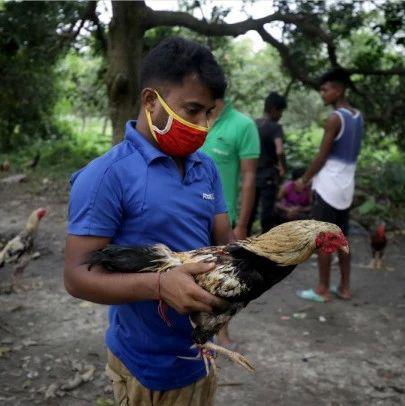 印度一公鸡逃离斗鸡比赛时用刀刺死主人