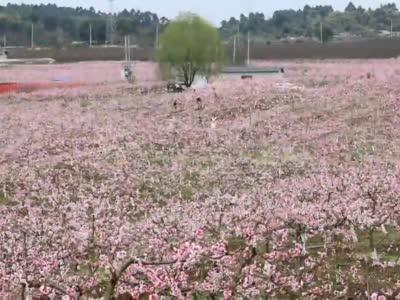 """这里春天颜色有点多!桃花丛中看""""灰机""""起落"""
