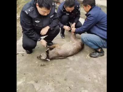 """青麂""""妈妈""""受伤被困 警民携手救助"""