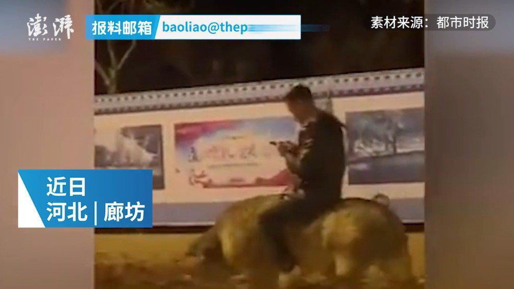 男子骑猪看手机