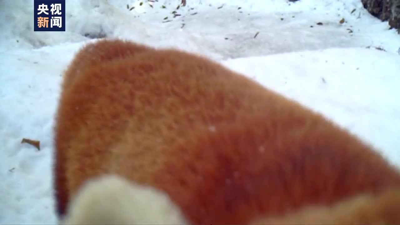 没拍到峨眉派 却拍到了小熊猫(。・ω・。)ノ♡