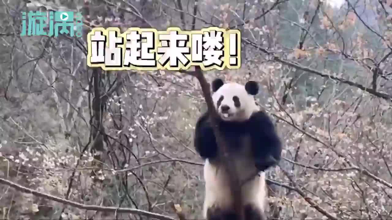 秦岭大熊猫上树折樱桃花 憨态可掬引网友围观