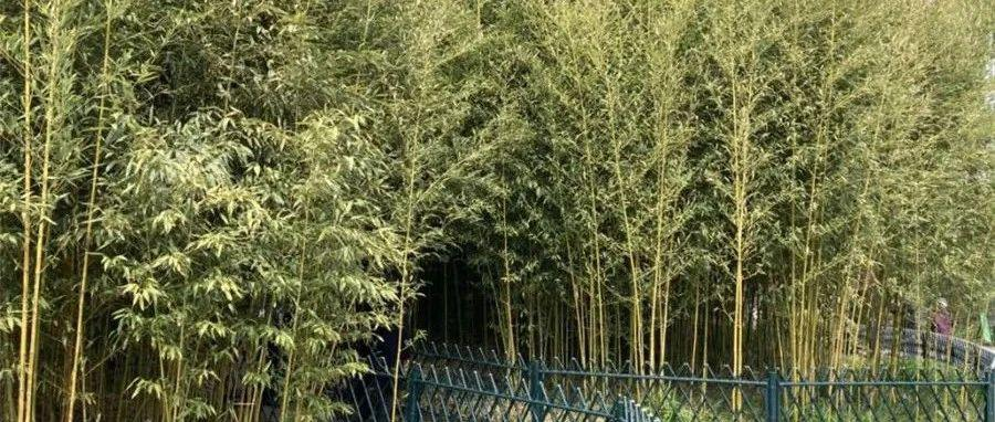 叶片还是枯黄色……寒潮过后,北京的竹子还好吗?