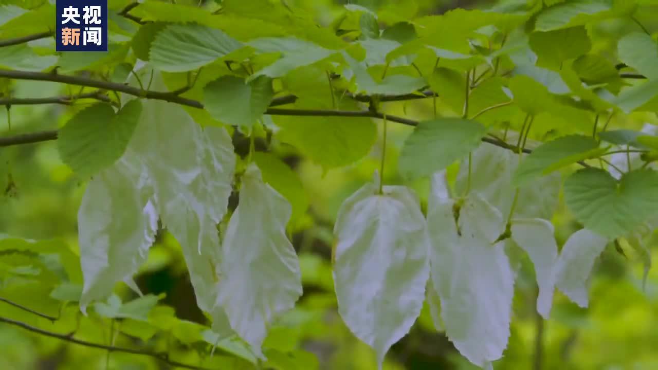 """""""植物活化石""""野生珙桐花盛开 枝头如""""白鸽""""翻飞"""