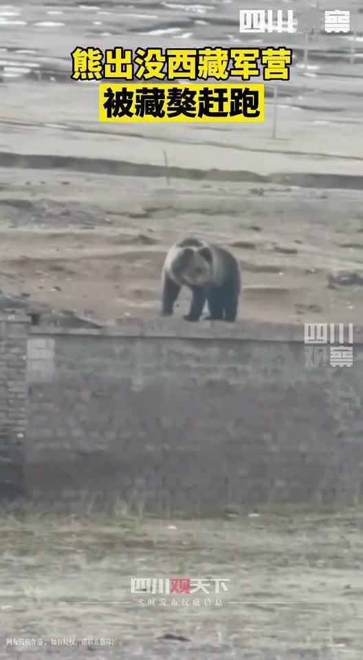 棕熊闯西藏军营被藏獒赶跑