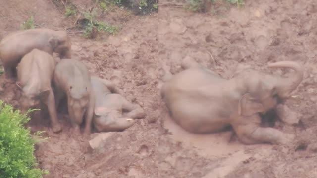 实拍云南象群雨中玩泥巴