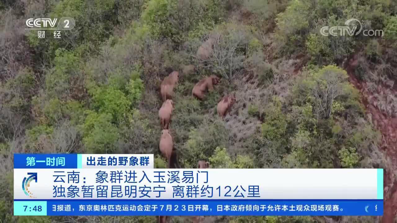 [第一时间]出走的野象群 云南:象群进入玉溪易门 独象暂留昆明安宁 离群约12公里