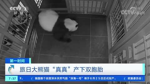 旅日大熊猫产下双胞胎