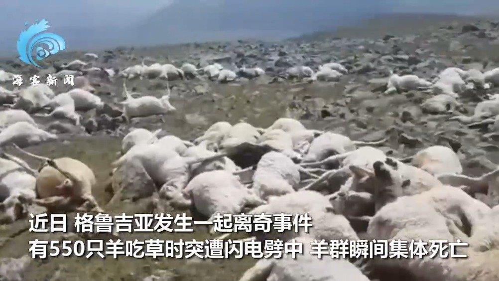 550只羊吃草时被雷瞬间劈死