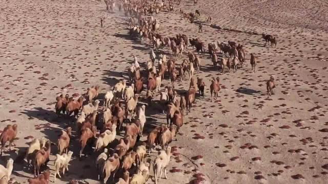 数百峰骆驼震撼转场