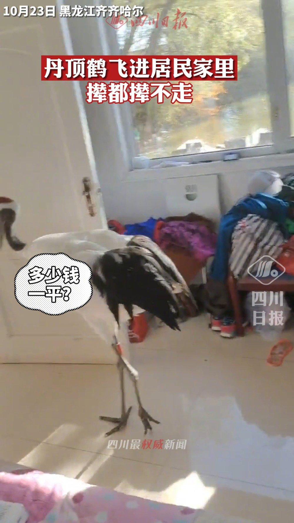 丹顶鹤跑到居民家