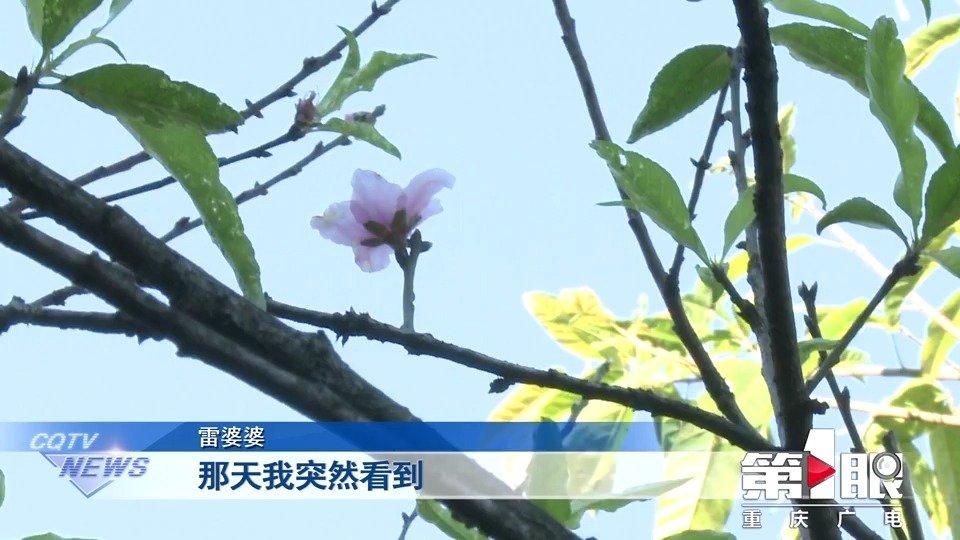 重庆一树桃花反季节盛放