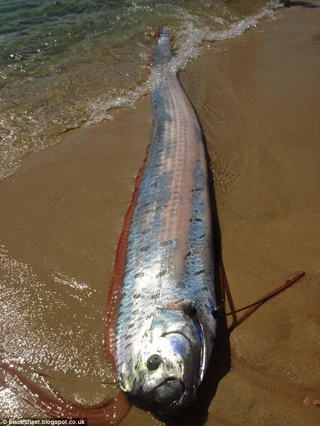 桨鱼吃人的视频_桨鱼属于肉食性鱼类,其食物包括各种中小型鱼类,乌贼,磷虾,螃蟹等