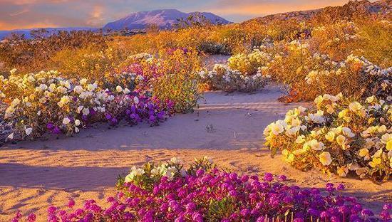 """美国南加州沙漠""""超级绽放""""现象"""