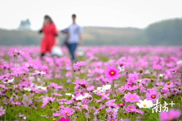 南北遍地开花 以花为媒 看清远如何实现乡村振兴