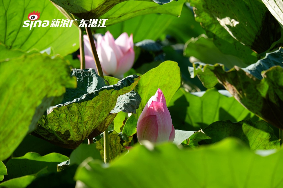 又到赏荷季 湛江市区多个公园荷花含苞待放