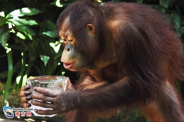 吃西瓜叹空调 深圳动物园萌宠们这样避暑