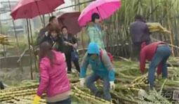 寒潮来袭甘蔗被吹倒 农户损失惨重