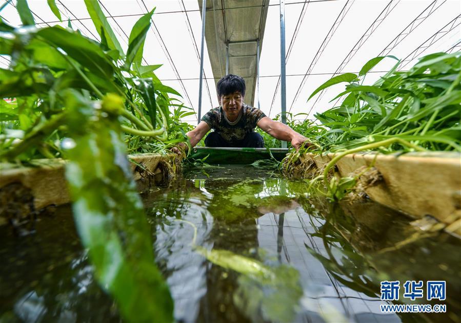 河北馆陶:鱼菜共生实现生态种养