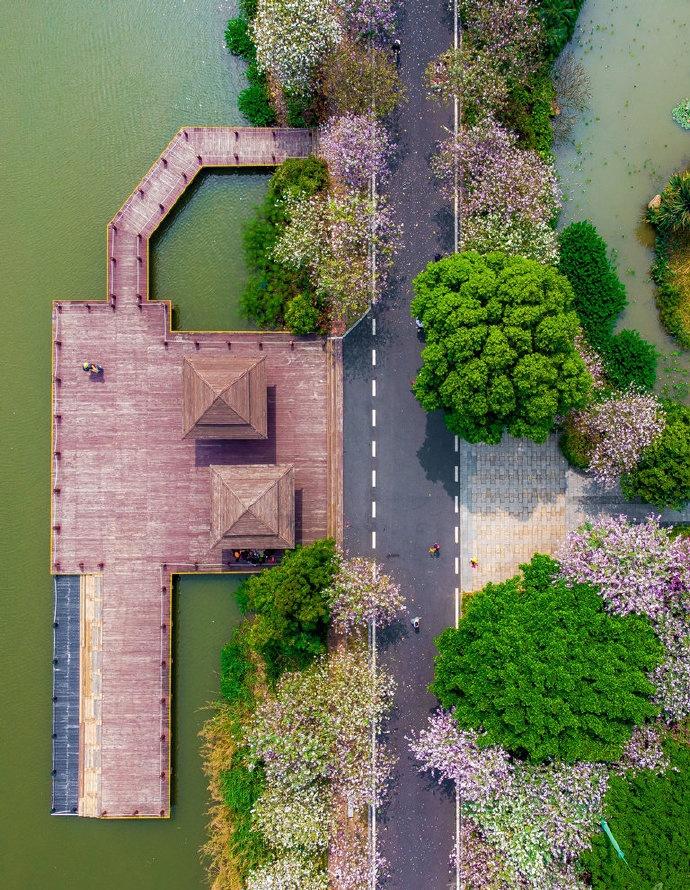 广州海珠湿地公园春花开美到出圈 异木棉也争相绽放