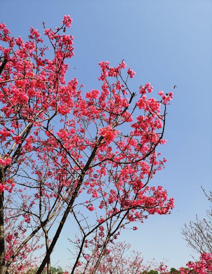 萝岗创业公园樱花盛开