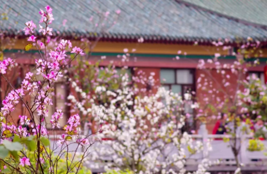 华农的紫荆花已经是广州的网红了,每年都有无数人前往打卡。