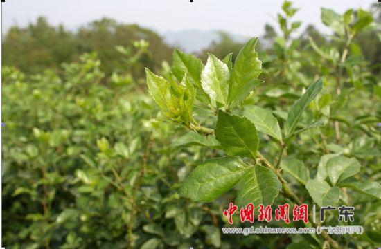 恩平簕菜是一种天然环保型保健蔬菜。