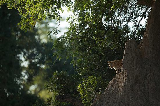 隐藏在树边的一只非洲豹,想来是幼豹们的哥哥