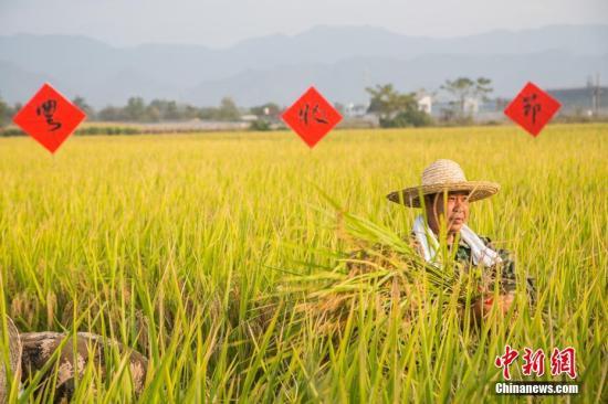 资料图:浙江省丽水市莲都区碧湖镇道士,村民正在收割水稻。中新社记者 陈冠言 摄
