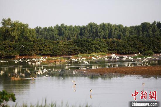 广州南沙湿地鹭鸟成群出没(资料图)。广东省林业局 供图