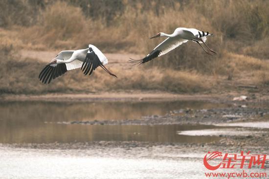 韶关始兴发现白鹤种群 全球数量不到4000只