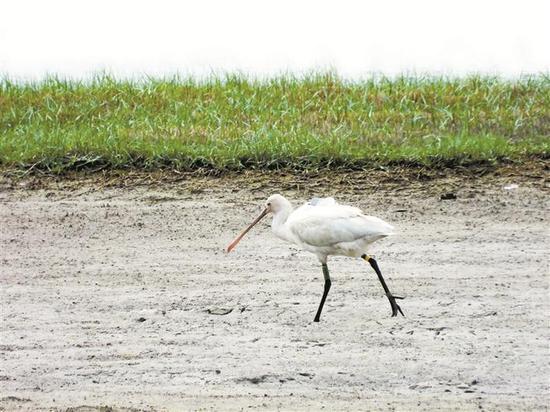 """▲华侨城湿地公园迎来""""稀客""""白琵鹭。 受访单位供图"""