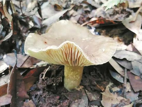 祖孙3人食毒蘑菇致死 省疾控:切勿采食野生菇