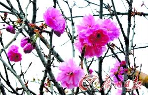 樱花盛开。广州日报记者李波 摄