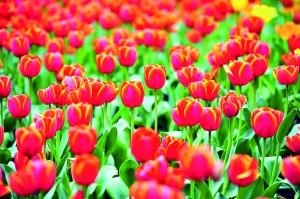 海珠湖公园的郁金香。