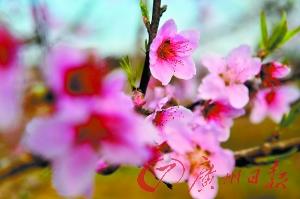 连平、翁源的桃花美而耐看。